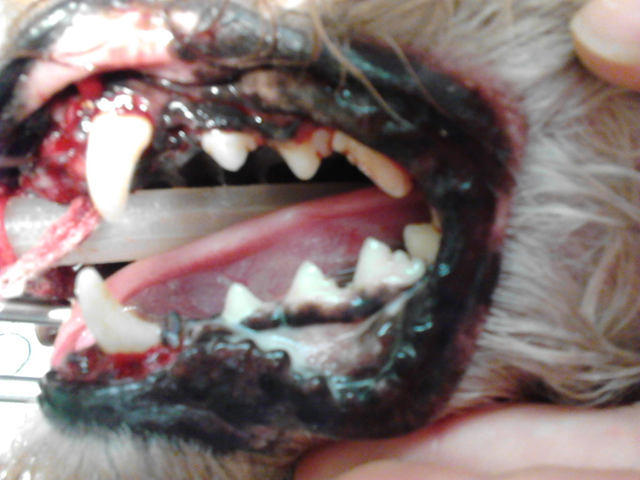 Rebel after dental treatment. Look at his pearly whites, a big difference!