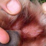 The hair on this paw is stained a reddish brown colour from saliva, a sign of excessive licking.